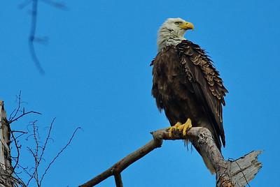 Bald_Eagle22_WCW1018