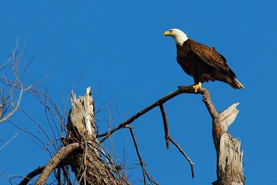 Bald_Eagle4_WCW0938