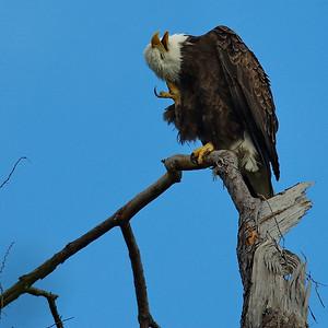 Bald_Eagle27_WCW1036