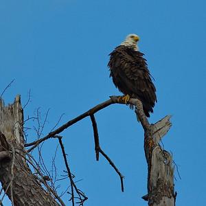 Bald_Eagle16_WCW0985