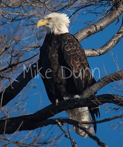 Bald Eagle-68