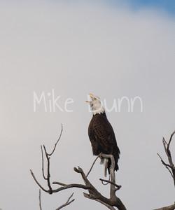 Bald-Eagle-52