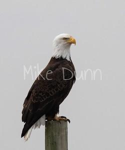 Bald Eagle-63