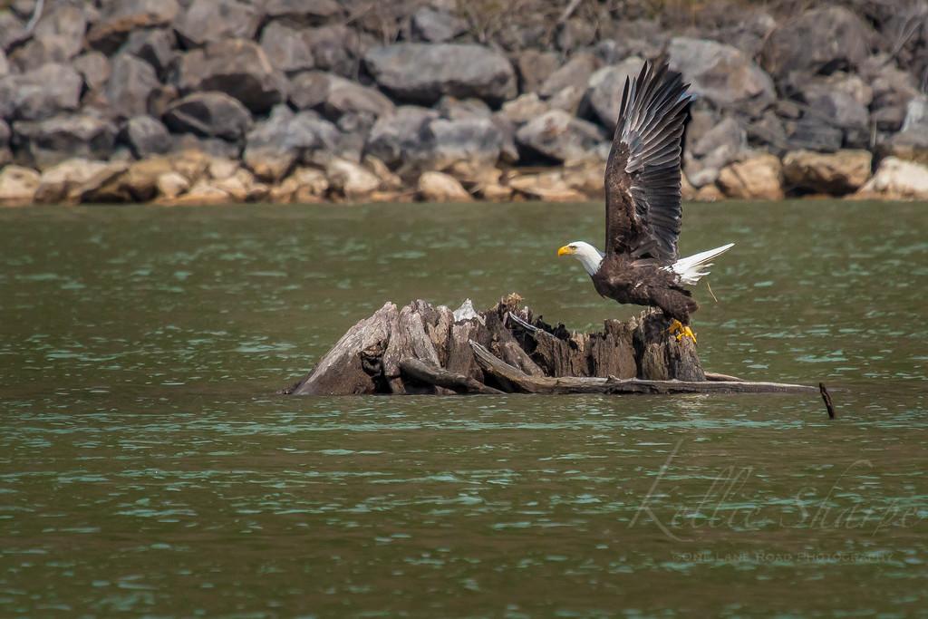 Bald Eagle Lift Off