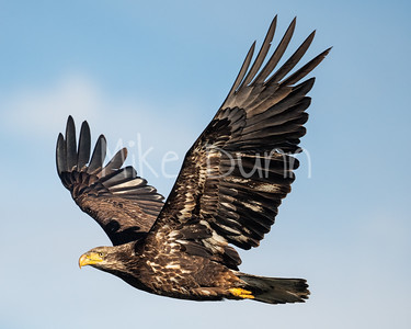 Bald Eagle-92
