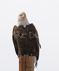 Bald Eagle-66