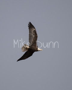 Bald Eagle-42
