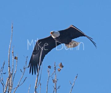 Bald-Eagle-59