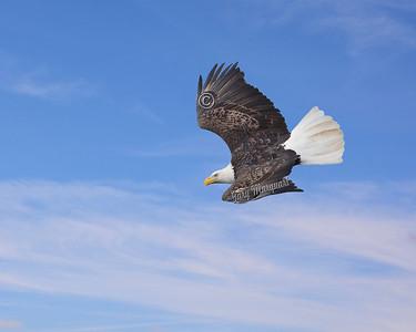Eagle #8465