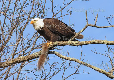 "As long as I can remember, seeing a Bald Eagle in the wild up close was my ""birding"" pinnacle. Actually photographing one has been my dream. Well I finally have been able to do both things within a few months here in Ulster County NY."