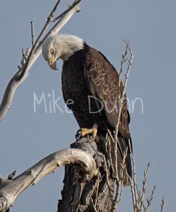 Bald Eagle-65