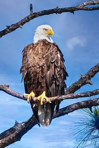 (EA19) Bald Eagle