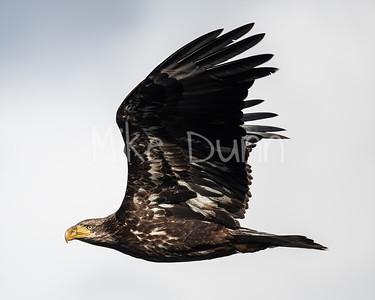 Bald Eagle-93