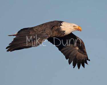 Bald Eagle-86