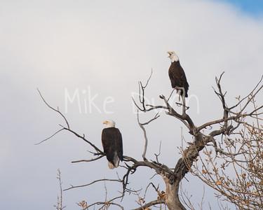 Bald-Eagle-51