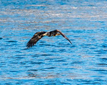 Juvenile Bald Eagle 313