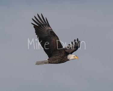 Bald-Eagle-54