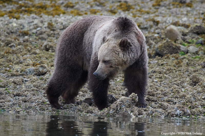 Grizzly stares at own reflection