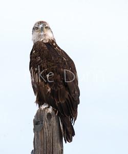 Bald-Eagle-57
