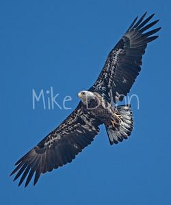 Bald Eagle-82