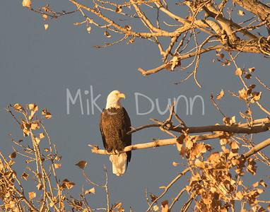 Bald Eagle-4