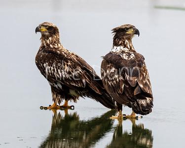 Bald Eagle-76
