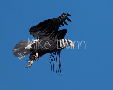 Bald Eagle-84