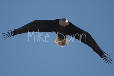 Bald Eagle-62