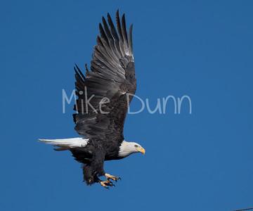 Bald Eagle-85