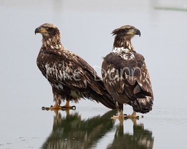Bald Eagle-77