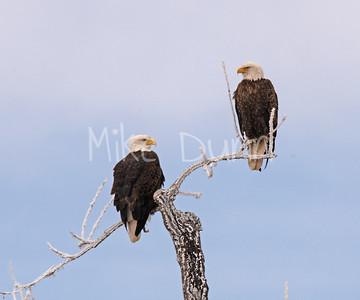 Bald-Eagle-56
