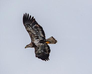 Juv Eagle 186