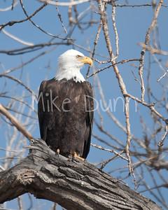 Bald Eagle-43