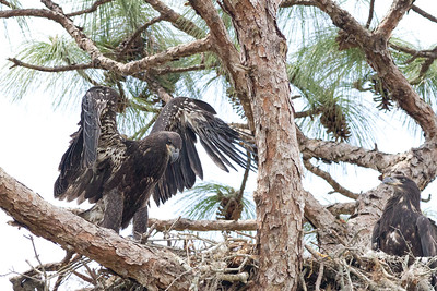 Two fledgling eagles on nest in Orlando, FL