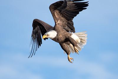 Bald Eagle at the Orlando Wetlands Park, Florida