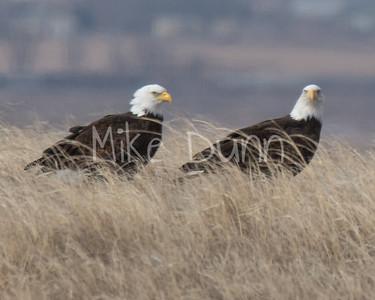 Bald Eagle-55
