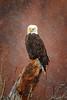 Eagle105_20x30