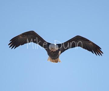 Bald Eagle-61
