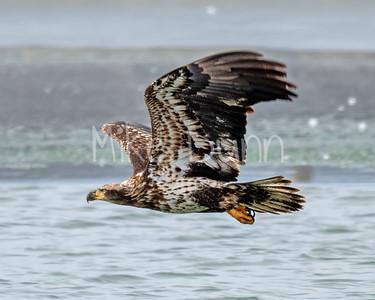 Bald Eagle-81
