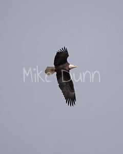 Bald Eagle-41
