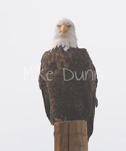 Bald Eagle-64