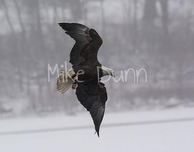 Bald Eagle-28