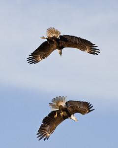 Eagles Mating Ritual