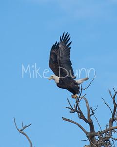 Bald Eagle-53