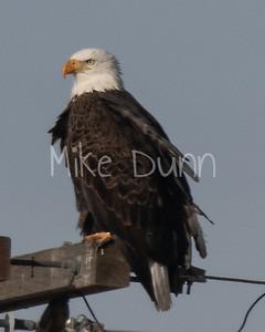 Bald Eagle-57