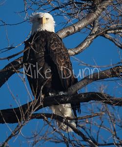 Bald Eagle-67