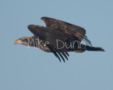 Bald Eagle-69
