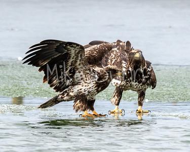 Bald Eagle-79