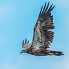 Juvenile-Eagle-in-Flight-at-Rankin-5-25-2916-watermarked-for-WEB