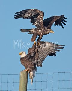Bald Eagle-94